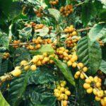 Variétés de café à gros pois: nouveauté, rareté et plaisirs sensoriels atypiques