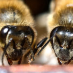 Même les abeilles boivent du café le matin pour être plus lucides