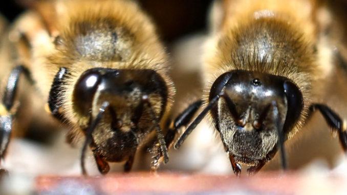 <pre><pre>Même les abeilles boivent du café le matin pour être plus lucides