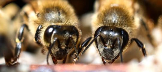 les abeilles boivent du café