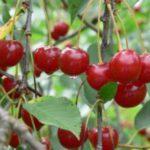 Cerises acides et café - une combinaison séduisante