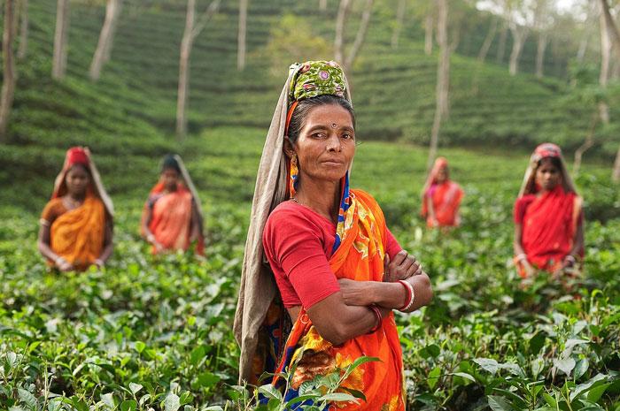 Une plantation de thé en Inde