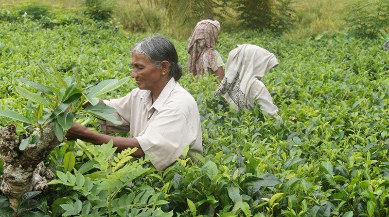 Les producteurs de thé du Sri Lanka