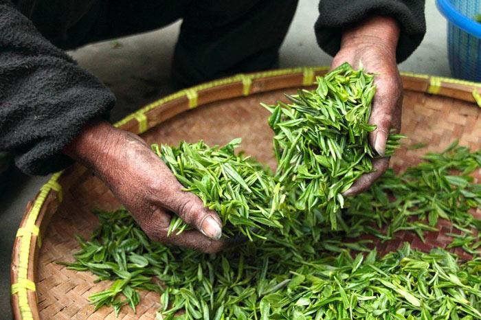 Feuilles de thé juste après la récolte