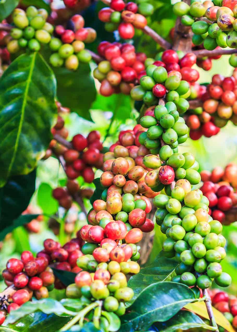 les cerises de café arabica sont d'un rouge profond