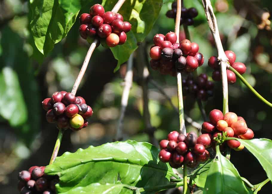 Caféiers robusta aux fruits