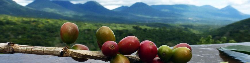 Café d'Amérique centrale et des Caraïbes