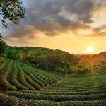 10 charmantes plantations de thé où séjourner à travers l'Inde