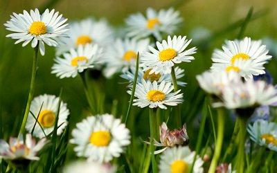 """fleurs-de-camomille-herbe-d'été-herbs1st_mini """"width ="""" 400 """"height ="""" 250 """"srcset ="""" https://balcongardenweb-lhnfx0beomqvnhspx.netdna-ssl.com/wp-content/uploads/2015/10/chamomile-flowers -summer-grass-herbs1st_mini.jpg 400w, https://balcongardenweb-lhnfx0beomqvnhspx.netdna-ssl.com/wp-content/uploads/2015/10/chamomile-flowers-summer-grass-herbs1st_mini-300x188.jpg 300w """"tailles = """"(largeur maximale: 400px) 100vw, 400px"""" /></picture></noscript>Belle marguerite comme des fleurs qui sent légèrement fruité comme une pomme, la camomille est une herbe médicinale utile. Il est traditionnellement utilisé pour induire le calme et le sommeil. Vous pouvez préparer son thé avec de petites fleurs blanches et jaunes plutôt qu'avec les feuilles. Il existe deux sortes de camomille (allemande et romaine), la camomille romaine offre un thé au goût prononcé.</p> <p>La camomille aime les sols sablonneux et beaucoup de soleil et elle a besoin de beaucoup d'eau pendant l'été. Il est robuste dans les zones USDA 4 à 9.</p> <h2><span class="""