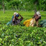 Covid-19: le verrouillage entraîne une flambée des prix du thé; Hausse de 79% des prix de gros en août - News 24