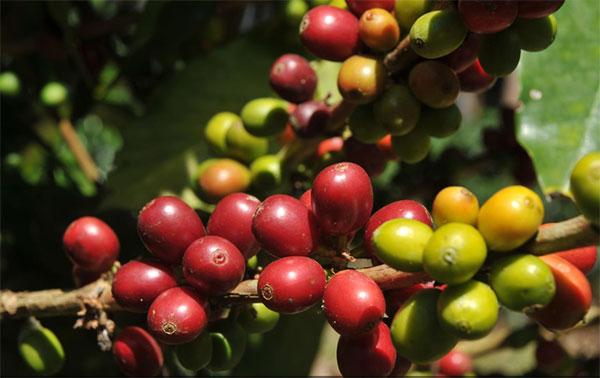 La durabilité est la base de l'évolution du secteur du café