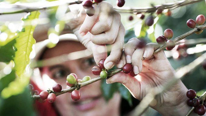 Le café du futur est vert